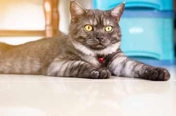 Cat Scottish fold black color and eye surprised curiously,Ear set