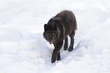 Foto auf Leinwand Wolf A lone Black wolf (Canis lupus) isolated on white background walking in the winter snow in Canada