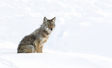 A lone coyote (Canis latrans) isolated on white background sitting and hunting in the winter snow in Canada