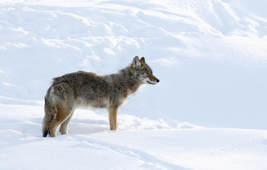 A lone coyote (Canis latrans) isolated on white background walking and hunting in the winter snow in Canada