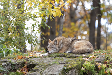 A lone Coyote (Canis latrans) resting on a rock in autumn in Canada