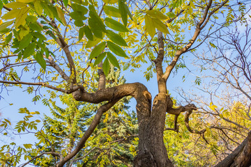A beautiful old fantastic branchy ash tree with green and yellow leaves in a park in autumn