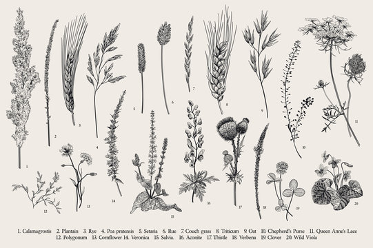 Summertime. Plants of fields and forests. Flowers, cereals. Vector vintage botanical illustration. Black and white