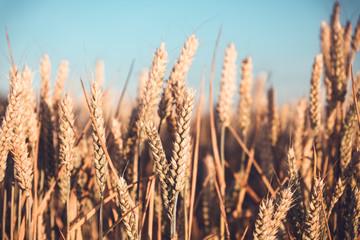 Fototapeta ears of wheat