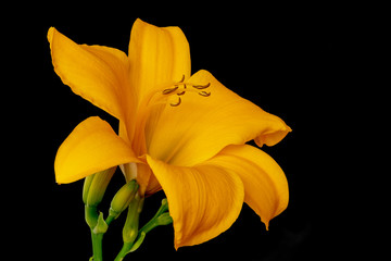 Fine art still life color macro image of a single isolated wide open orange yellow daylily blossom with stem and buds on black background with detailed texture