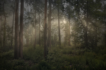 Magic foggy forest