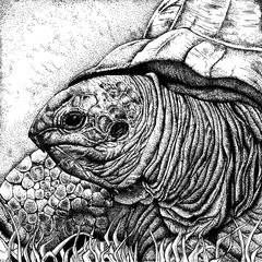 Turtle black and white illustration. Ink hand drawing