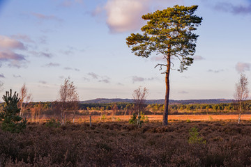 Thursley nature reserve, Surrey hills, England and a stark isolated Scots Pine tree