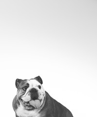 Bulldog face in black and white. Copy space.