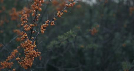 Closeup sea buckthorn berries on the bush