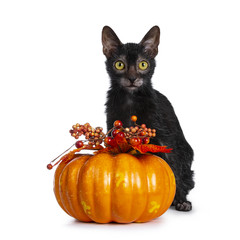 Wall Mural - Young adult black Lykoi cat kitten sitting beside an orange pumpkin looking straight in camera with yellow eyes, isolated on white backgroud