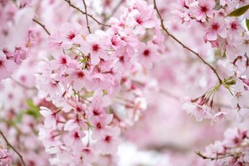 Foto op Canvas Kersenbloesem Cherry blossoms
