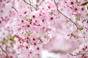 Fotobehang Kersenbloesem Cherry blossoms