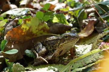 Ropucha ,płaz ,żaba