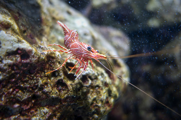 Red white shrimp on the rock