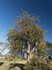 Apfelbäume rot
