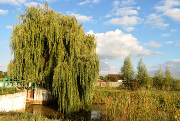 Summer landscape. Lake overgrown with reeds. Willow branches touch the water. Reeds, bright blue sky, fluffy white clouds are reflected in the water.