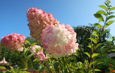 Sunny summer day in Yaroslavl. Hydrangea in a Park on Damansky island. Beautiful pink flowers in the sunSunny summer day in Yaroslavl. Hydrangea in a Park on Damansky island.