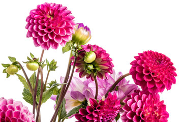 Poster Dahlia Great bunch of pink dahlia, vibrant color, isolation on white background