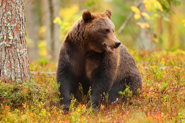 Brown bear sitting in a forest and looking at side