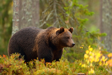 Side view of a brown bear in a forest in fall season