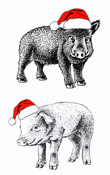 Graphical pigs in Santa Claus hat, wild hog new year illustration,vector