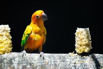 Sun parakeet Fotoväggar