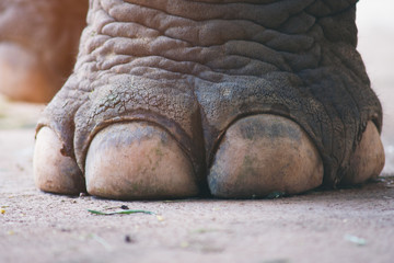 closeup image nail and foot of elephant