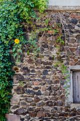 Tournesol poussant dans un mur