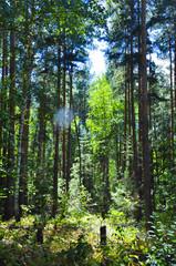 forest, tree, nature, pine, trees, wood, landscape, green, summer, woods, autumn, sun, park, trunk, sunlight, environment, birch, woodland, light, grass, season, outdoors, outdoor, fog, foliage
