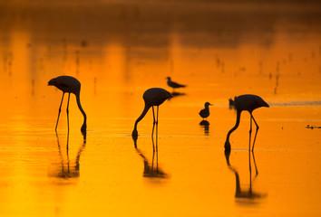 Silhouette of Greater Flamingos feeding