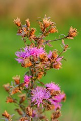 Dry thistle with flowers at sunset - closeup