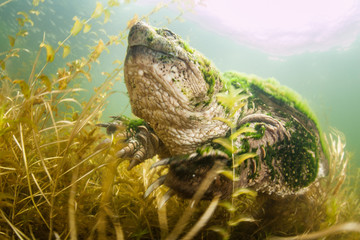 Wall Mural - Common Snapping Turtle Underwater