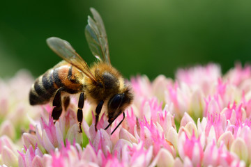 Macro shot of a bee on a sedum flower