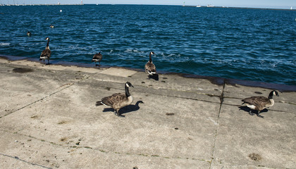 Geese and Water