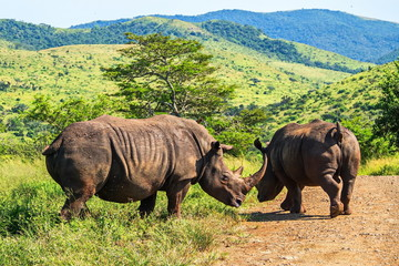 Two rhinos crossing the road. Safari in national parks of South Africa