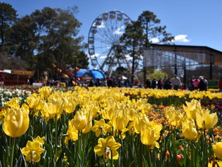 Focus on Masses of tulips in front of the Ferris Wheel at Floriade in Commonwealth Park (Canberra, ACT, Australia).