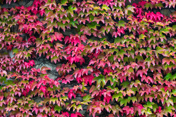 Colorful ivy leaves turning red on a wall during autumn