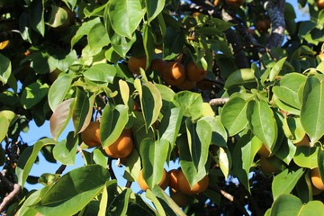 Ripened pears on a tree in fall