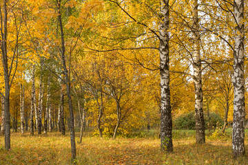 Autumn yellow trees and leaves. Golden fall landscape