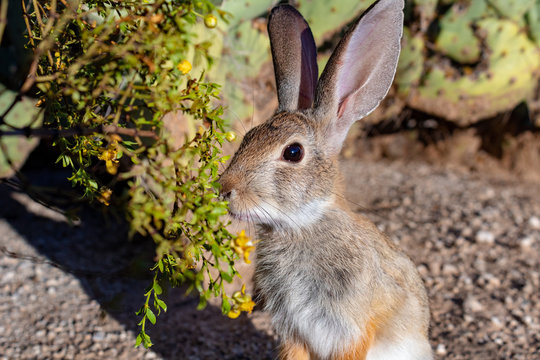 A cute wild cottontail bunny rabbit a native of the Sonoran desert eating yellow creosote bush flowers in Tucson, Arizona.
