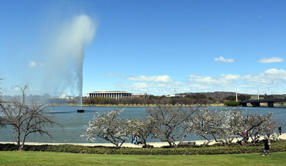 Cherry tree blooming in Spring time along the walkway of Lake Burley Griffin. View of the Captain Cook Memorial Water Jet,  National Library of Australia and Parliament House from Commonwealth Park.