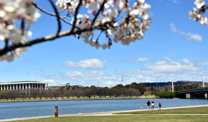 People enjoy the sunny Spring in Canberra. Cherry tree blooming along the walkway of Lake Burley Griffin. View of the National Library of Australia and Parliament House from Commonwealth Park.