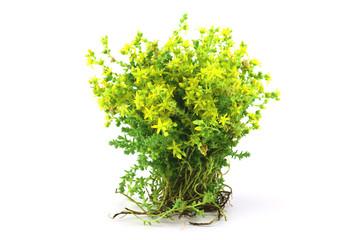 Isolated Stonecrops (Sedum) Medicinal Herb Plant.