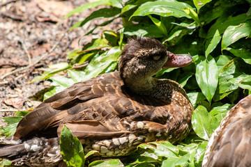 Nesting duck