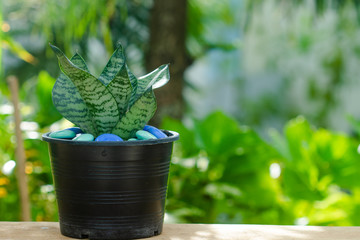 Cluse up sansevieria or snake plant in pot