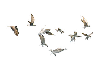 Flock of birds flying isolated on white background. This has clipping path.