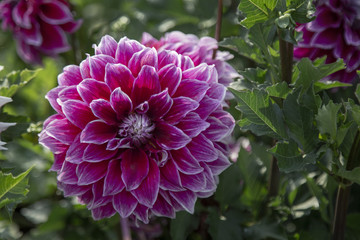 Close Up, Isolated View of Sun Dappled Dahlia Flower, Bright Pink Petals with Similar Dahlia in Background