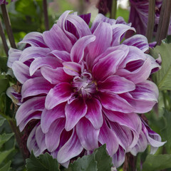 Close Up View of Sunlit Pale Purple and White Colored Dahlia Flower with Green Leaves in Background
