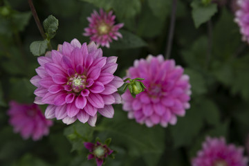 Close Up View of Sun Dappled Fuschia Colored Dahlia Flower Petals with Green Leaves Similar Dahlia in Background